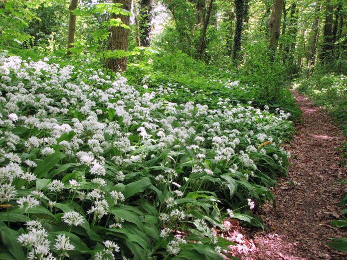 In het Bosje van Broekens staat daslook nu prachtig in bloei! Fotografie: Henk van Bruggen.